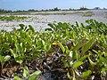 Starr-031108-0079-Ipomoea imperati-habit-South Lido Beach-Florida (24306719569).jpg