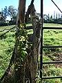 Starr-070111-3095-Thunbergia alata-yellow flower form on fence-Montressori School Baldwin Ave-Maui (24510748459).jpg