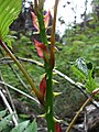 Starr-090521-8309-Rubus niveus-thorns-Polipoli-Maui (24325651464).jpg