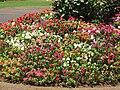Starr-090714-2745-Impatiens walleriana-flowering habit-Kapalua-Maui (24943358596).jpg