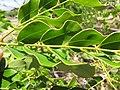 Starr-090721-3299-Adenanthera pavonina-leaves-Old Ka Lima nursery Wailuku-Maui (24877217351).jpg