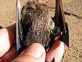 Starr-100907-9082-Eucalyptus sp-habitat with Hawaiian hoary bat Lasiurus cinereus semotus-Olinda-Maui (24420815264).jpg