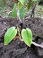 Starr-110307-2452-Philodendron sp-habit-Kula Botanical Garden-Maui (24451244743).jpg