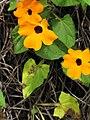 Starr-110307-2501-Thunbergia alata-flowers-Kula Botanical Garden-Maui (24451330643).jpg