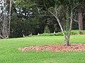 Starr-110513-5535-Prunus cerasifera x salicina-habitat and nene on lawn-Hawea Pl Olinda-Maui (24976815322).jpg