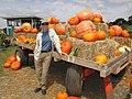 Starr-111004-0569-Cucurbita pepo-habit and pumpkin display with Kim-Kula Country Farms-Maui (25000157892).jpg