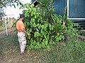 Starr-111012-1060-Piper auritum-habit with Joe-Kahana-Maui (25092969086).jpg