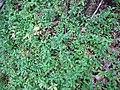 Starr-120425-5103-Erigeron karvinskianus-on forest floor-Waikapu Valley-Maui (25046929981).jpg