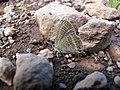 Starr-121031-0575-Ulex europaeus-habitat with bean butterfly Lampides boeticus mudding-Waikamoi Flume Rd-Maui (25169007236).jpg