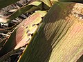 Starr-121220-1306-Agave sisalana-leaf-Near Puu Moaulaiki-Kahoolawe (24570556643).jpg