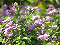 Starr-130114-1418-Lantana montevidensis-purple flowers-Paia-Maui (24573899384).jpg