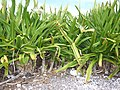 Starr-150403-0354-Crinum asiaticum-flowering habit with Red Tailed Tropicbirds-Near Pier Eastern Island-Midway Atoll (25250149006).jpg
