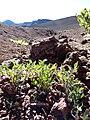 Starr-150930-0726-Solanum lycopersicum-seedlings-Sliding Sands Trail Haleakala National Park-Maui (25203661841).jpg