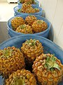 Starr-170806-0371-Ananas comosus-in buckets ready to share-Hawea Pl Olinda-Maui - Flickr - Starr Environmental.jpg