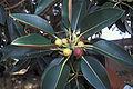 Starr 000501-1307 Ficus macrophylla.jpg