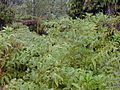 Starr 011205-0070 Rubus ellipticus.jpg