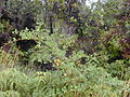 Starr 011205-0071 Rubus ellipticus.jpg