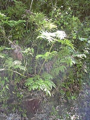 Marattiidae - Angiopteris evecta