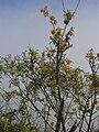 Starr 040131-0092 Sophora chrysophylla.jpg