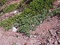 Starr 050404-0020 Heliotropium curassavicum.jpg