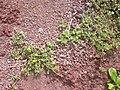 Starr 050405-0027 Portulaca lutea.jpg