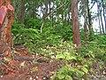 Starr 050518-1630 Araucaria columnaris.jpg