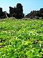 Starr 050924-4458 Jacquemontia ovalifolia subsp. sandwicensis.jpg