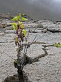 Starr 051003-4602 Ageratina adenophora.jpg