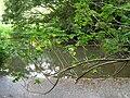 Starr 060810-8508 Montanoa hibiscifolia.jpg
