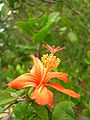 Starr 060826-8680 Hibiscus kokio subsp. saintjohnianus.jpg