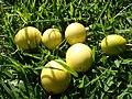 Starr 061128-1641 Passiflora edulis.jpg