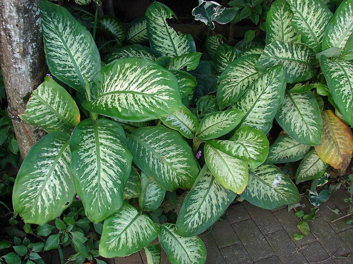 Dieffenbachia seguine wikip dia for Planta ornamental venenosa dieffenbachia