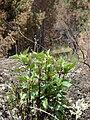 Starr 070908-9319 Ageratina adenophora.jpg