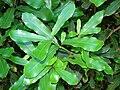 Starr 071024-0382 Macadamia integrifolia.jpg