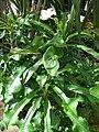 Starr 080117-1659 Plumeria pudica.jpg