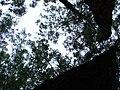 Starr 080504-4402 Eucalyptus sideroxylon.jpg