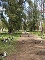 Starr 080609-7902 Casuarina equisetifolia.jpg