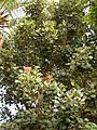 Starr 080716-9302 Erythrina latissima.jpg