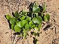 Stephania japonica var. discolor.jpg