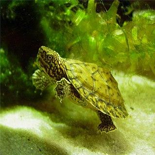 Loggerhead musk turtle species of reptile