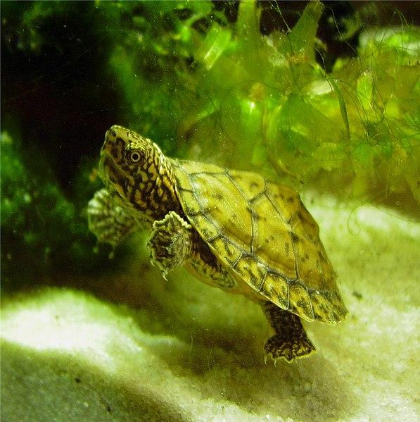 Loggerhead Musk Turtle Hatchling