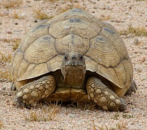 Leopard tortoise - Shell patterns fade in mature specimens