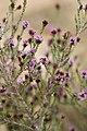 Stoebe fusca (Asteraceae) (4582071512).jpg