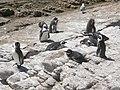 Stony Point Penguin Colony - panoramio (18).jpg