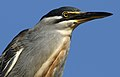 Striated heron, Butorides striata, up in a dead tree at Pilanesberg National Park, Northwest Province, South Africa (27820256281).jpg