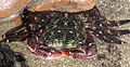 Striped shore crab, Pachygrapsus crassipes crop.jpg