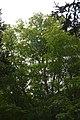 Sugar Maple, Top (49688126107).jpg