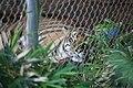Sumatran Tiger (Panthera tigris sumatrae) (2854166745).jpg