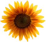 Sunflower Metalhead64 edited.png