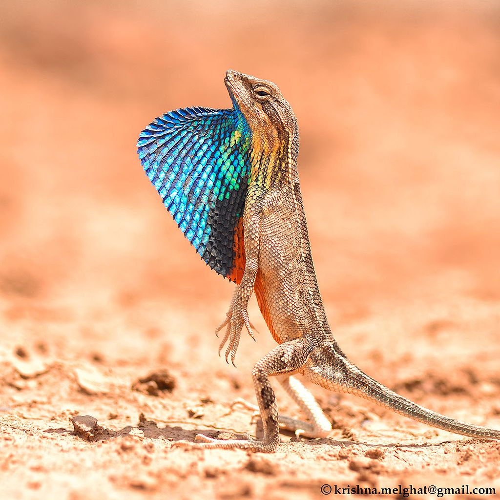 A fan-throated lizard. Photo credit: Krishna Khan/Wikimedia Commons [Licensed under CC BY 4.0]